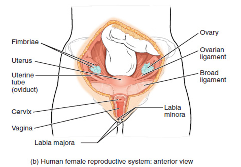 female reproductive organs ant